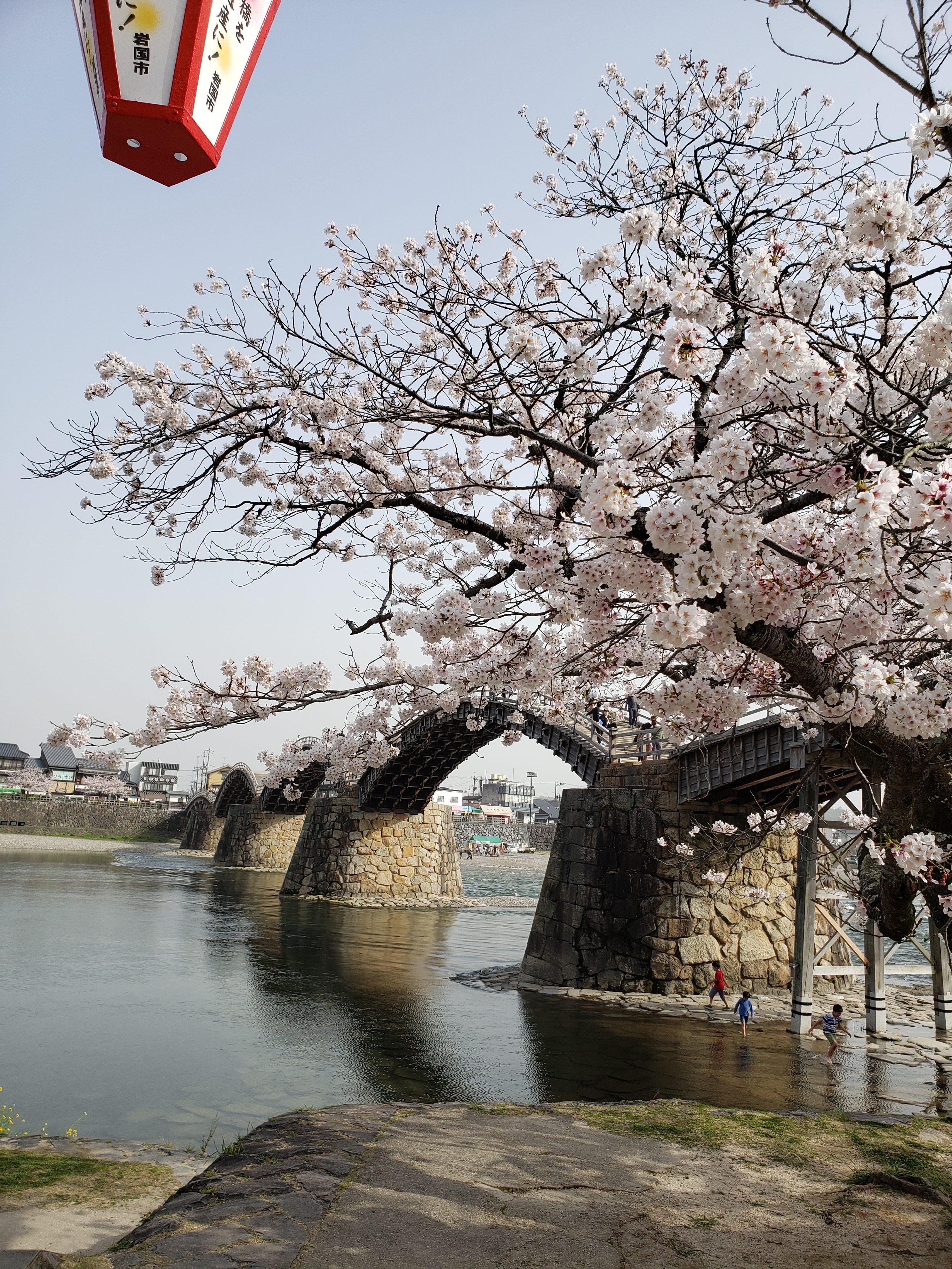 錦帯橋 桜 ギャラリーパティオの現場ブログ メイン写真